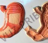 Внешняя и внутренняя поверхности желудка