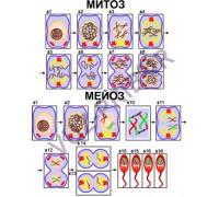 Деление клетки. Митоз и мейоз