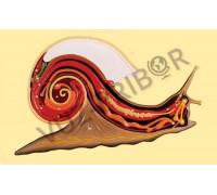 Внутреннее строение брюхоногого моллюска