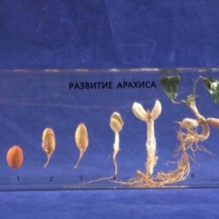 Развитие арахиса