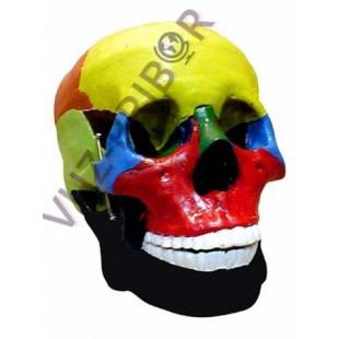 Модель черепа с раскрашенными костями