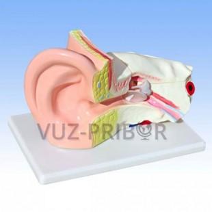 Модель уха увеличенная