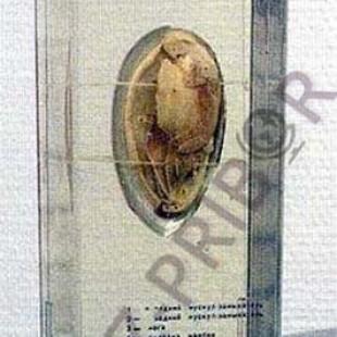 Беззубка (двустворчатый моллюск)