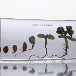 Развитие зерна арахиса (в прозр. пластике)