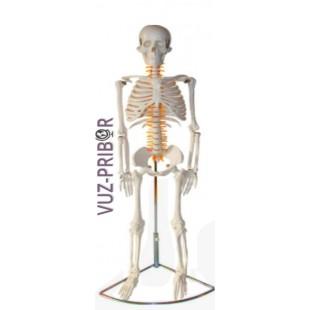 Модель скелета человека. 85 см.