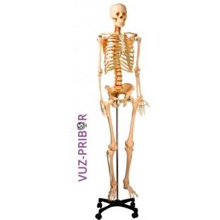 Модель скелета человека 170 см